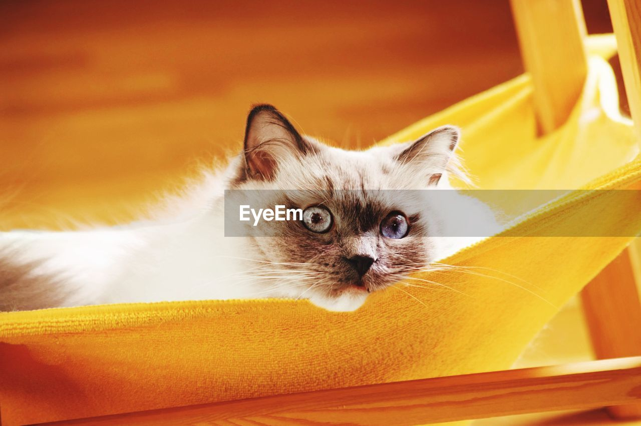 domestic, pets, domestic animals, mammal, cat, domestic cat, one animal, feline, vertebrate, looking at camera, portrait, no people, relaxation, whisker, young animal, orange color, close-up