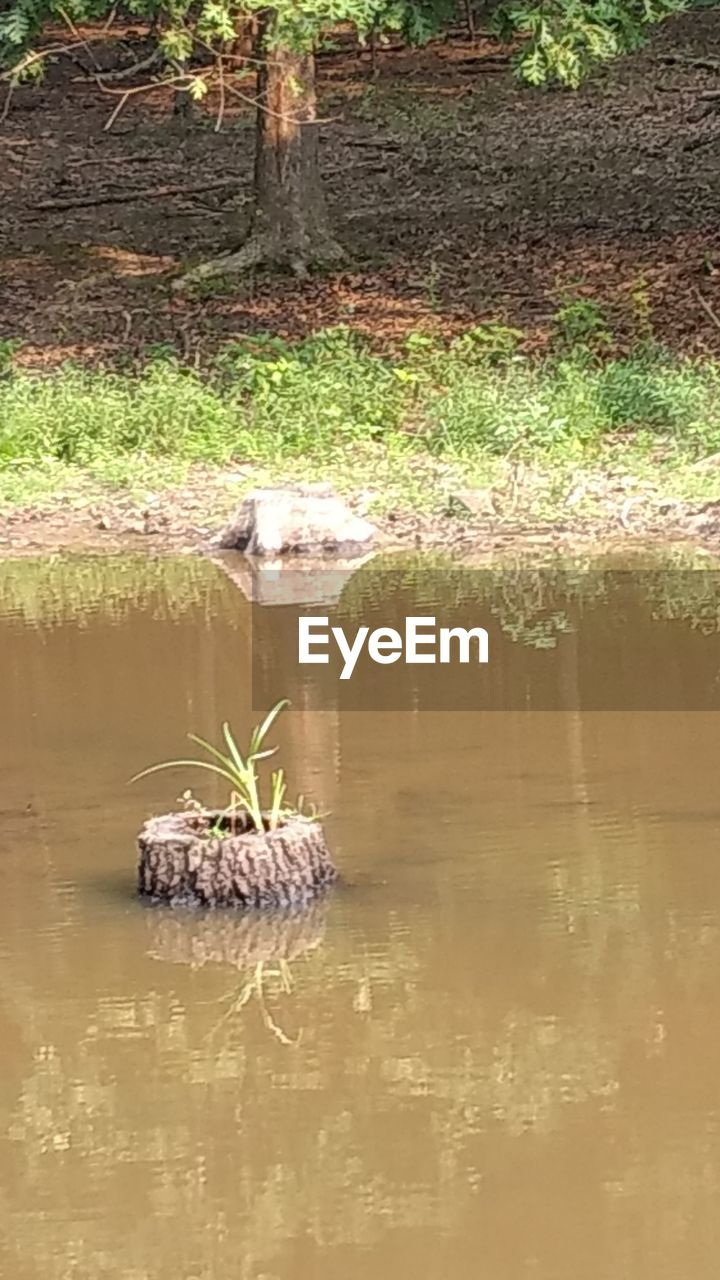reflection, one animal, animals in the wild, water, animal themes, nature, outdoors, animal wildlife, waterfront, reptile, day, alligator, no people, swamp, lake, grass, tree, mammal