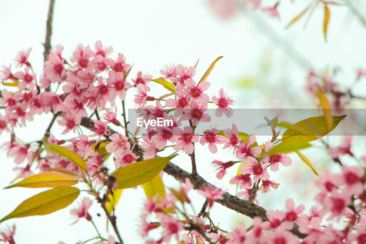 flower, fragility, growth, beauty in nature, petal, nature, pink color, blossom, freshness, springtime, branch, no people, outdoors, day, tree, flower head, plant, close-up, leaf, blooming
