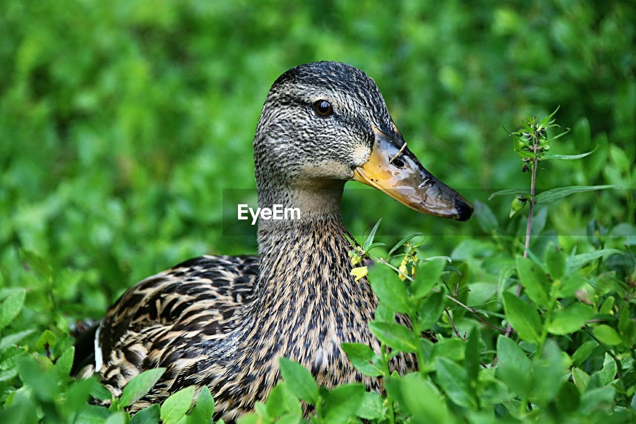 animal themes, animal wildlife, animals in the wild, animal, bird, one animal, vertebrate, duck, poultry, no people, nature, close-up, beak, green color, day, focus on foreground, plant, water bird, mallard duck, side view, outdoors, profile view