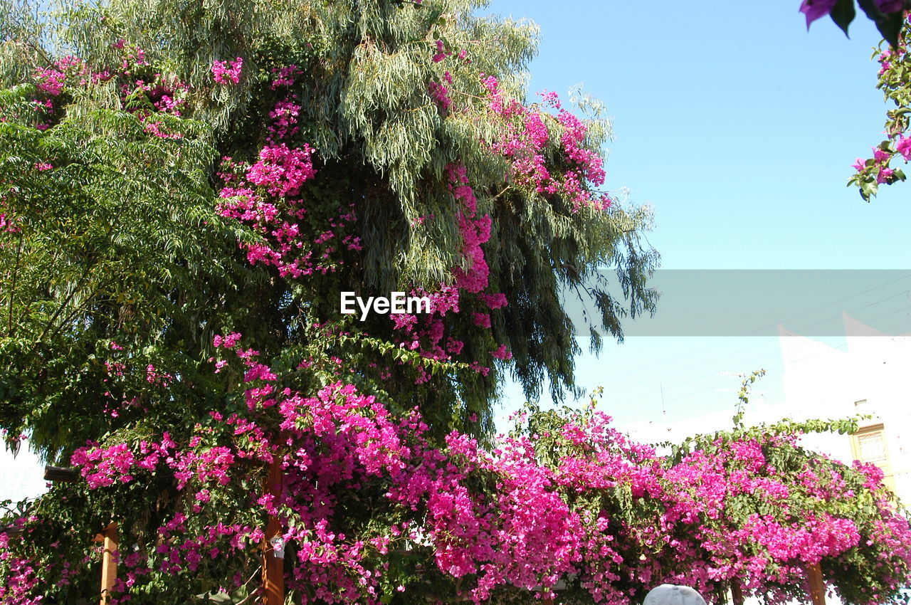 flower, growth, nature, tree, pink color, plant, blossom, beauty in nature, fragility, freshness, blooming, no people, lilac, outdoors, bougainvillea, day