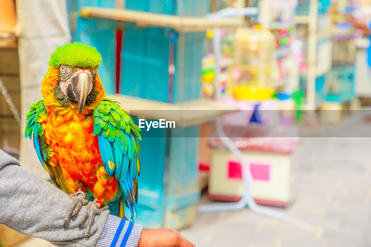parrot, bird, vertebrate, animal wildlife, focus on foreground, one animal, animals in the wild, multi colored, perching, hand, human hand, real people, day, one person, close-up, outdoors, human body part, rainbow lorikeet, finger