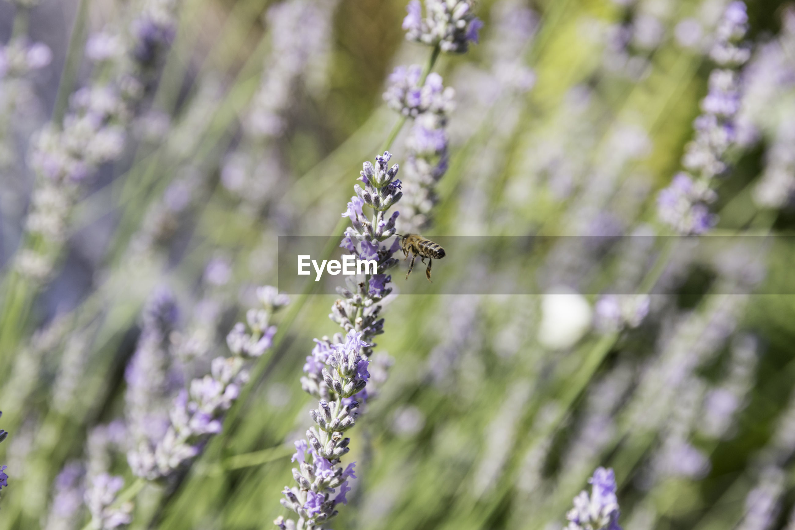 VIEW OF INSECT ON LAVENDER