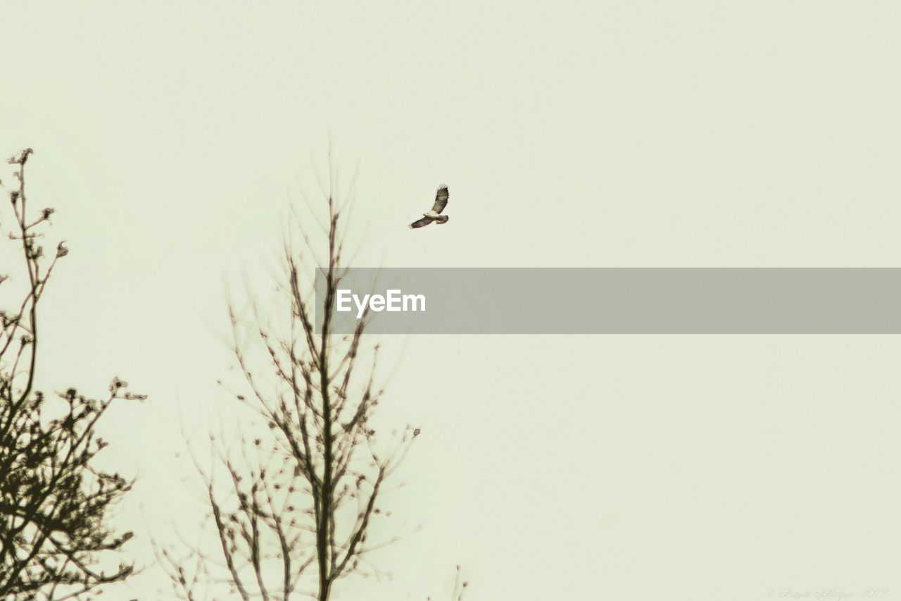 animals in the wild, bird, animal themes, one animal, flying, clear sky, copy space, animal wildlife, low angle view, nature, outdoors, no people, day, beauty in nature, tree, bird of prey, spread wings, sky