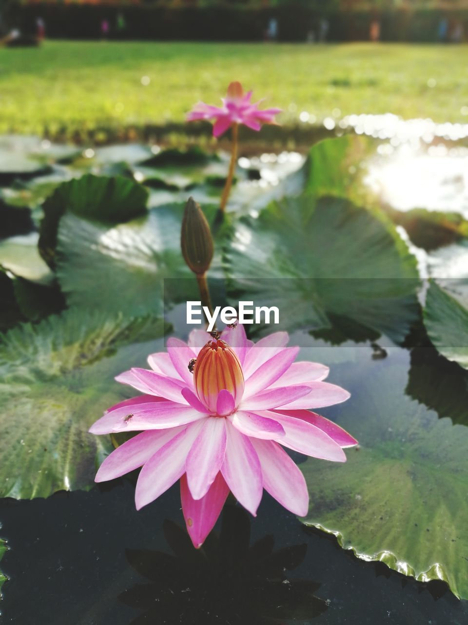 flower, flowering plant, beauty in nature, plant, water, petal, fragility, freshness, water lily, vulnerability, pink color, lake, flower head, inflorescence, growth, leaf, nature, close-up, lotus water lily, floating on water, no people, pollen, springtime, outdoors, purple