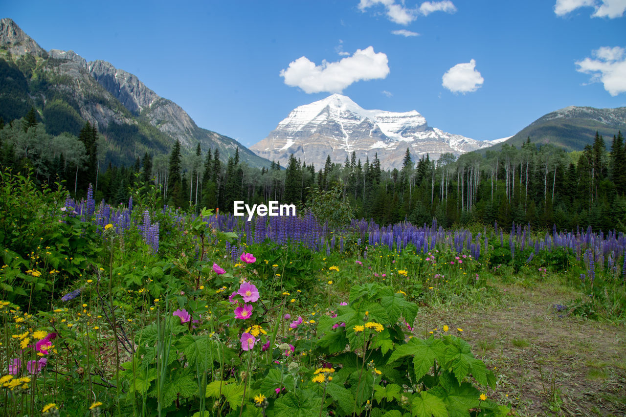 PURPLE FLOWERING PLANTS ON LAND AGAINST MOUNTAINS