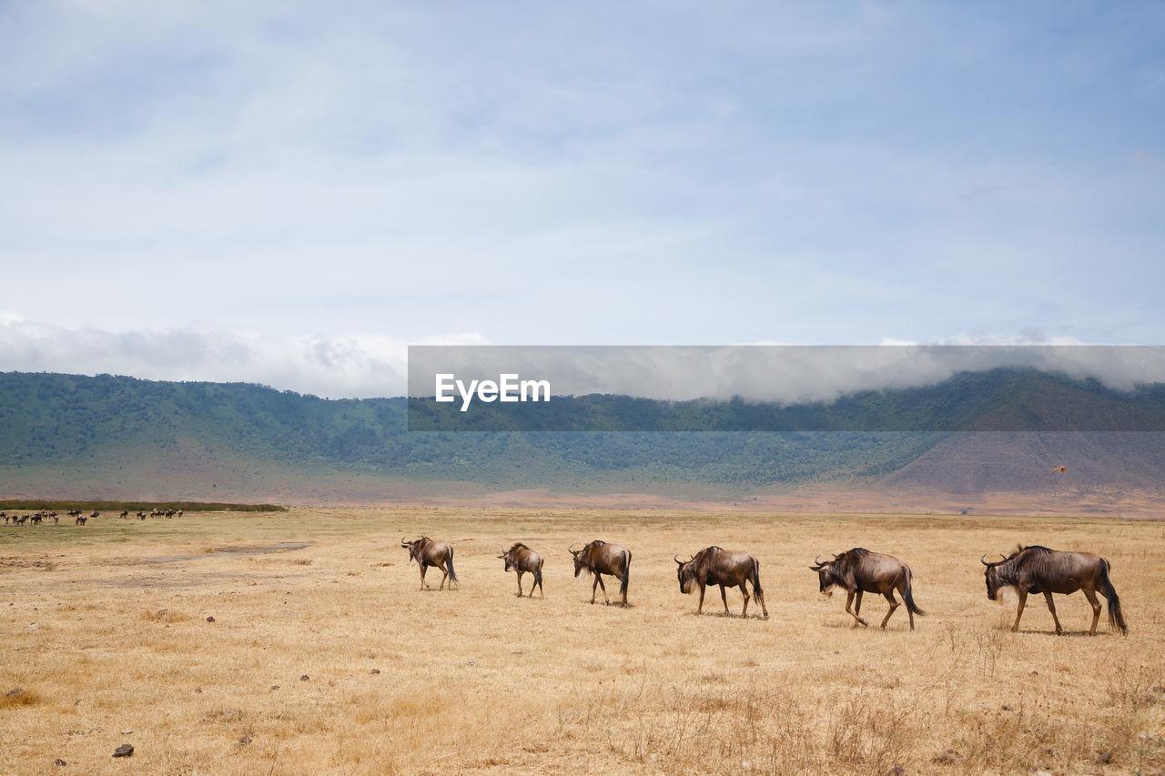 Wildebeest walking on field against sky