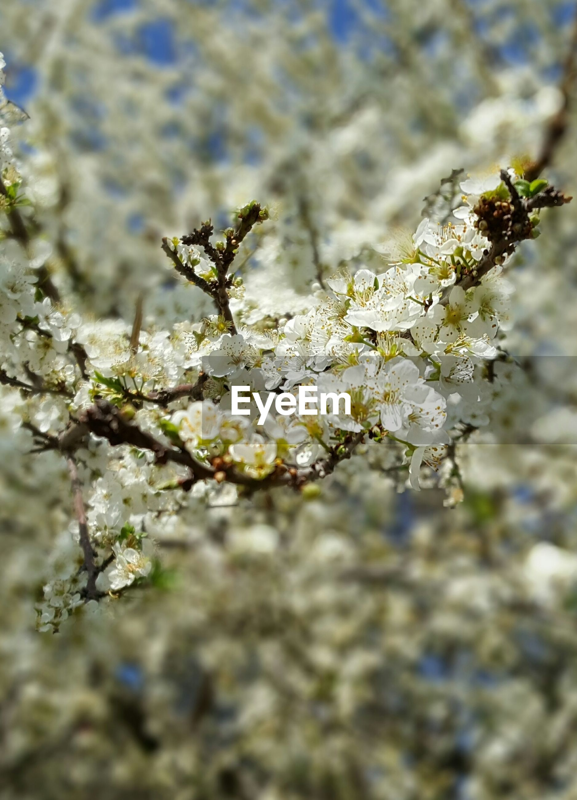 flower, growth, freshness, nature, branch, fragility, focus on foreground, close-up, white color, beauty in nature, plant, winter, cold temperature, season, snow, tree, selective focus, twig, blossom, day
