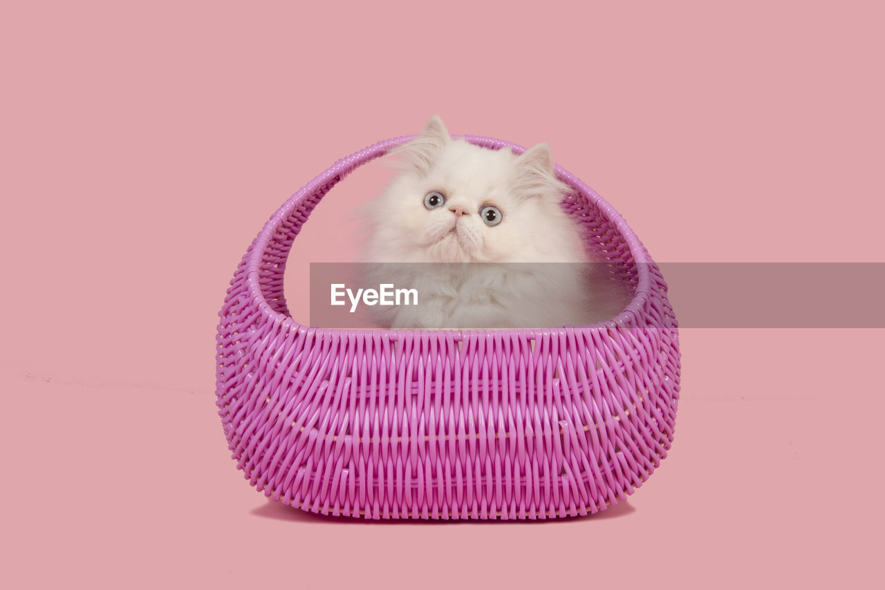pets, domestic, domestic animals, animal, mammal, animal themes, one animal, domestic cat, studio shot, feline, indoors, cat, no people, vertebrate, pink color, looking at camera, portrait, colored background, sitting, white color, whisker, persian cat, animal head, purple, animal eye