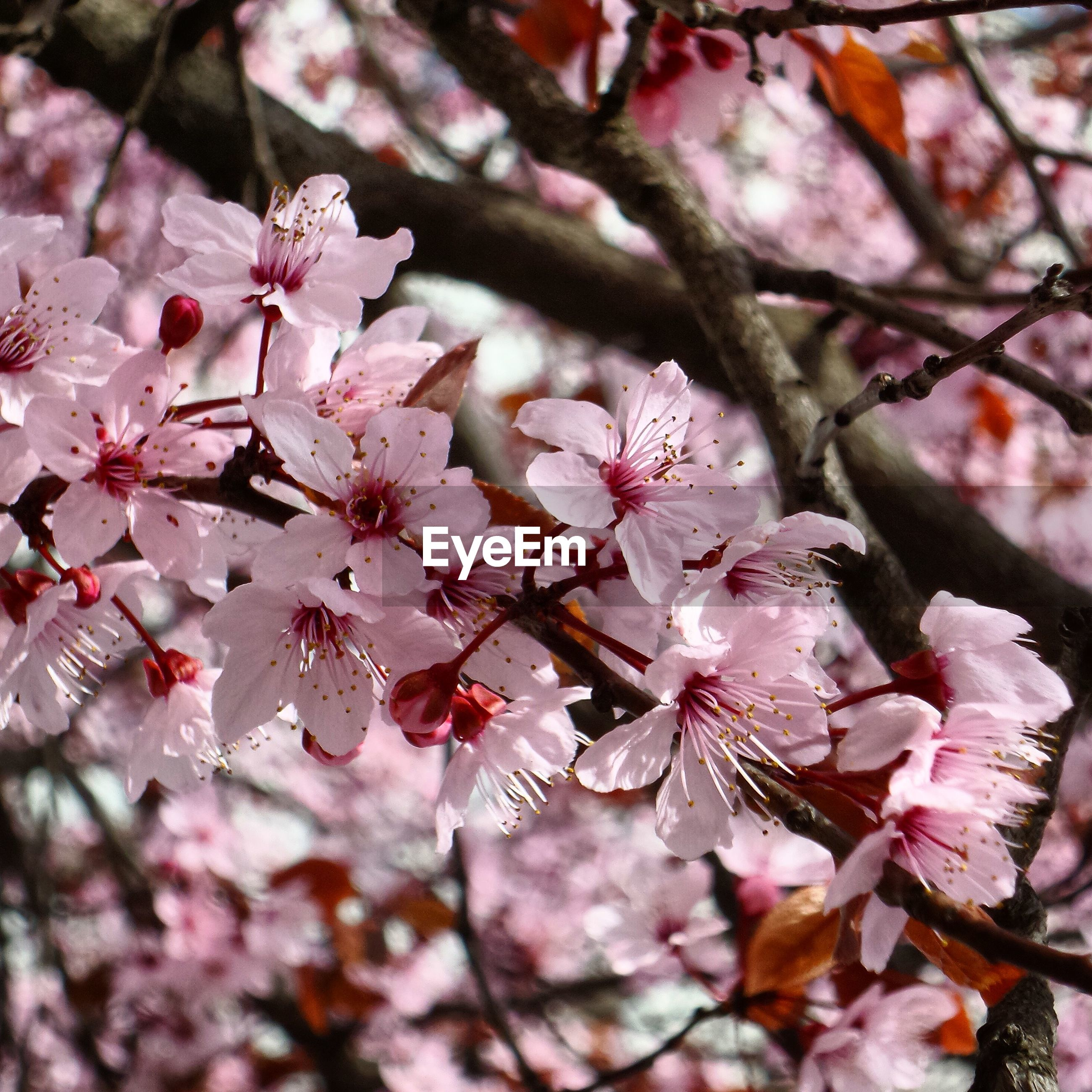 Close-up of pink flowers blooming on cherry tree