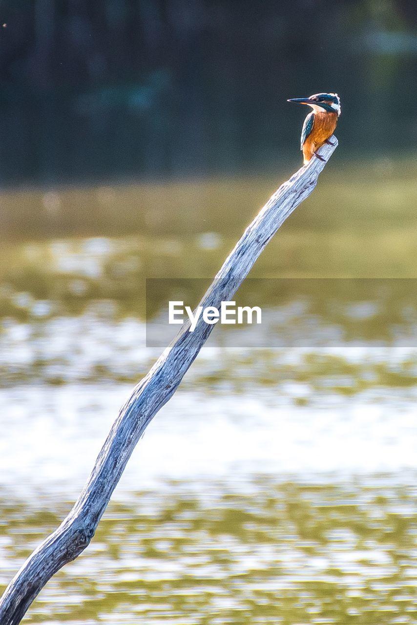 CLOSE-UP OF BIRD ON LAKE
