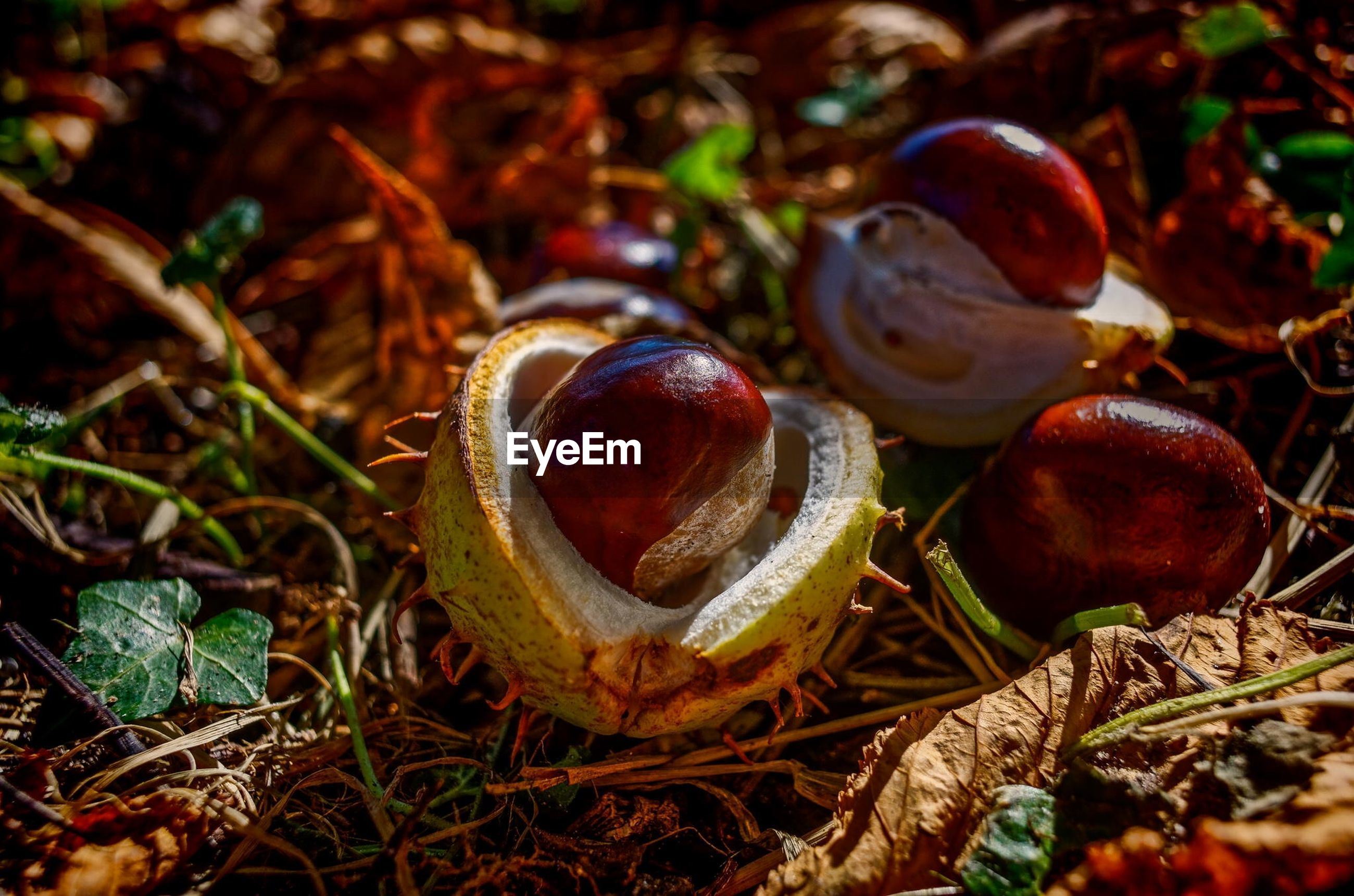 High angle view of chestnuts on field