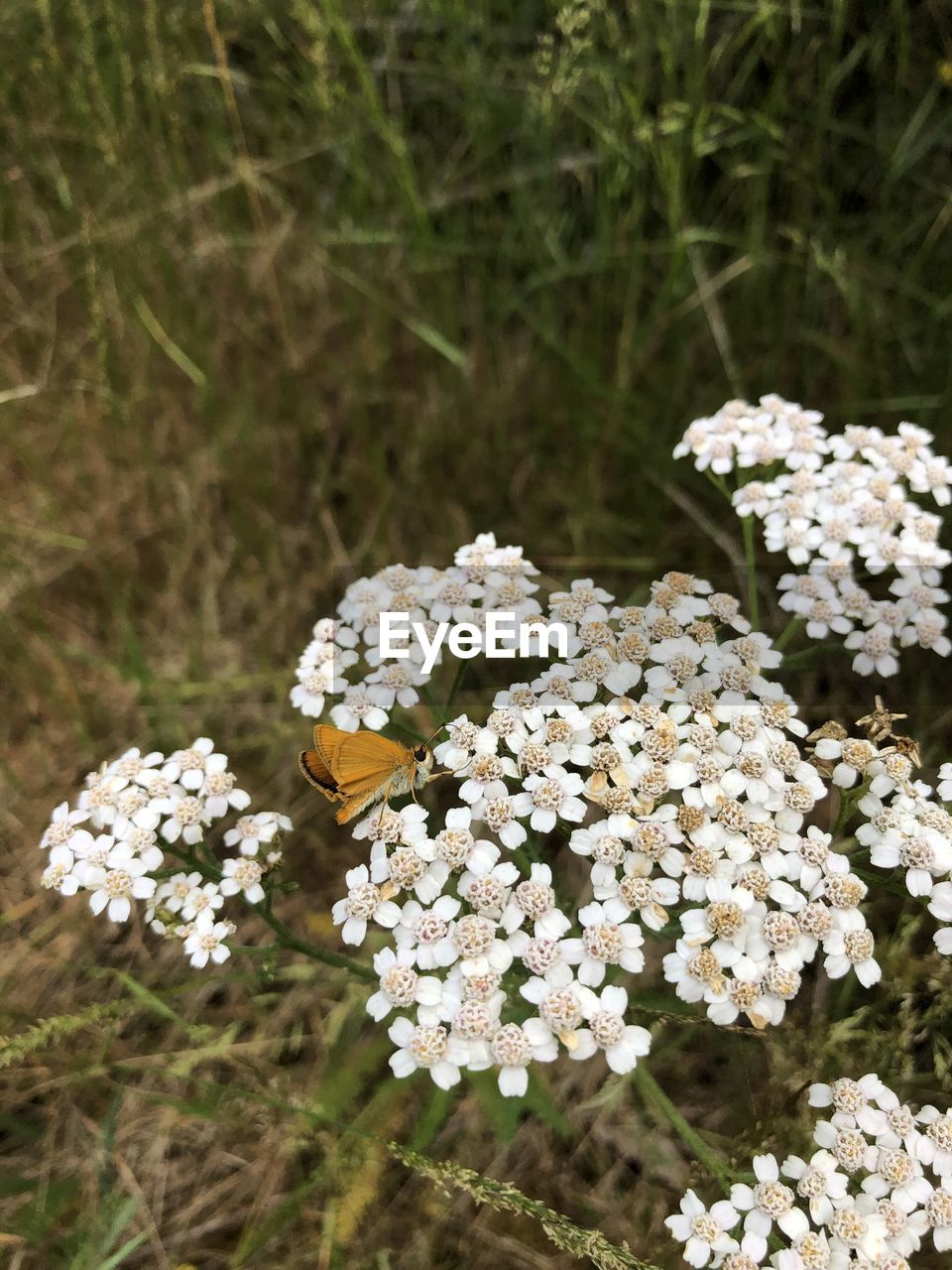 flower, flowering plant, plant, fragility, vulnerability, freshness, growth, beauty in nature, nature, close-up, white color, day, no people, flower head, petal, focus on foreground, field, inflorescence, land, invertebrate, outdoors