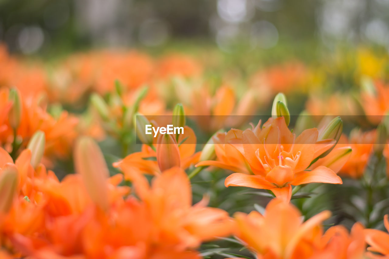 flower, orange color, growth, beauty in nature, petal, nature, freshness, plant, blooming, flower head, fragility, no people, outdoors, close-up, day, marigold
