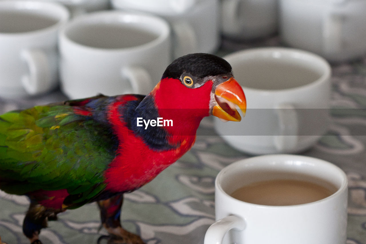 coffee cup, drink, coffee - drink, cup, food and drink, refreshment, bird, teapot, tea - hot drink, no people, indoors, drinking, parrot, close-up, multi colored, animal themes, day, food, freshness