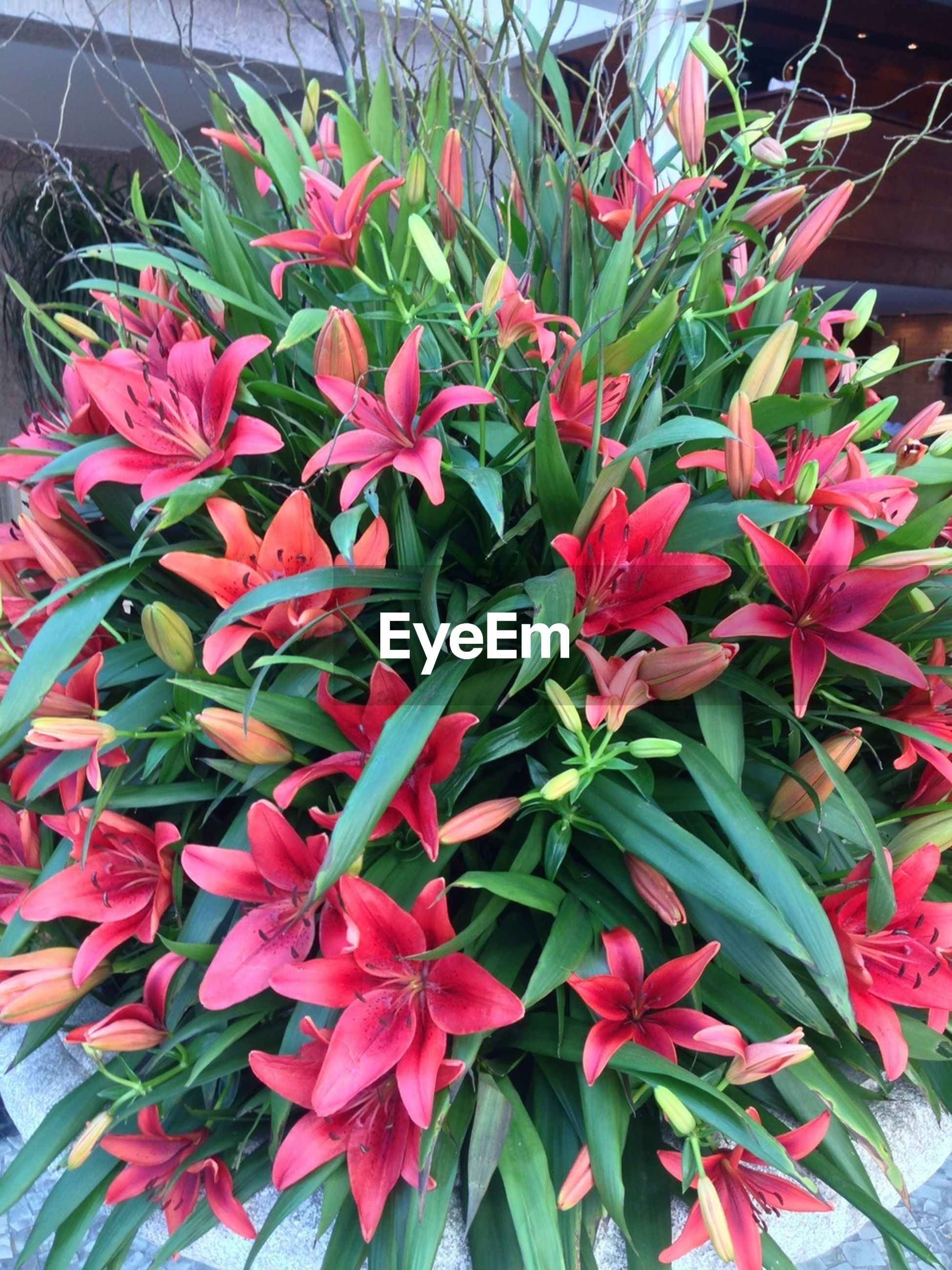 High angle view of red lilies blooming outdoors