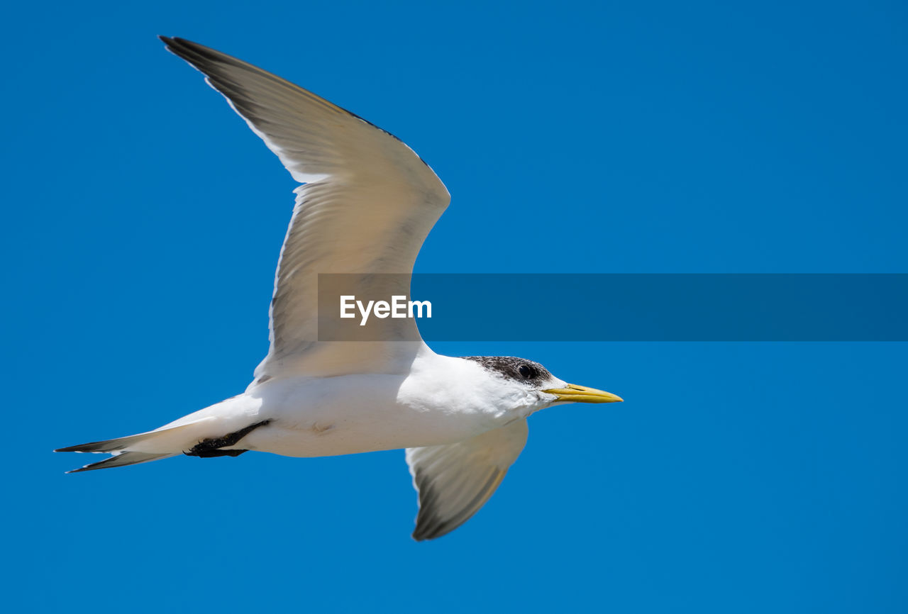 bird, animal, animal themes, vertebrate, animals in the wild, animal wildlife, one animal, spread wings, flying, blue, mid-air, sky, clear sky, no people, motion, day, low angle view, white color, nature, seagull, outdoors, flapping
