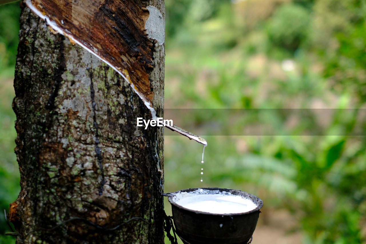 tree, focus on foreground, plant, trunk, tree trunk, nature, close-up, day, no people, outdoors, wood - material, water, metal, container, food and drink, land, refreshment, drink, forest, bark