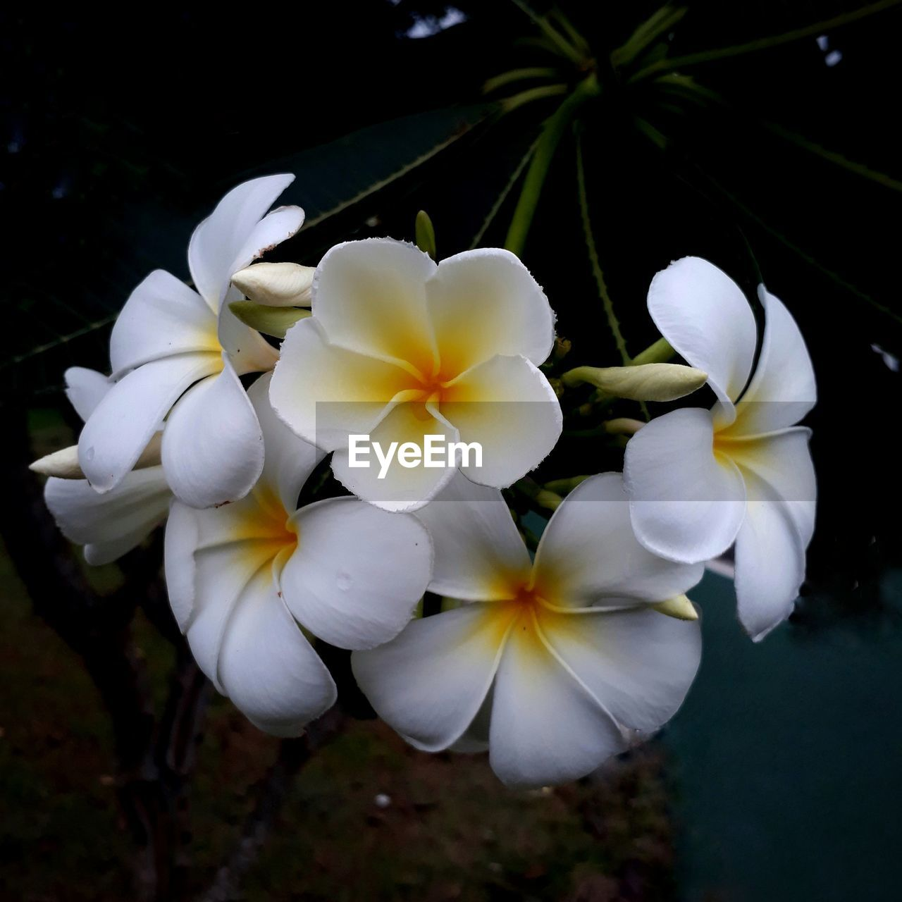 plant, flower, fragility, flowering plant, vulnerability, petal, inflorescence, flower head, freshness, white color, growth, beauty in nature, close-up, nature, frangipani, focus on foreground, day, no people, outdoors, white