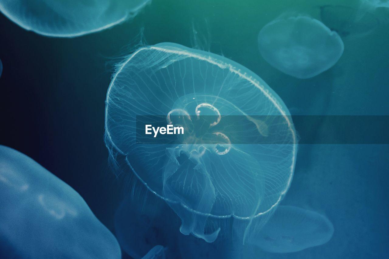 Close-Up Of Moon Jellyfish Swimming Underwater