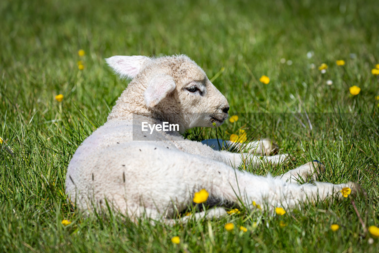 VIEW OF AN ANIMAL RELAXING ON FIELD