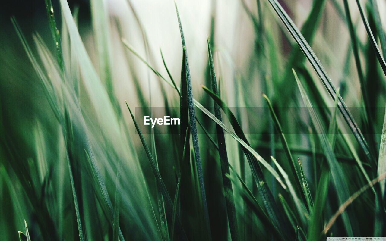 grass, growth, green color, plant, nature, cereal plant, wheat, close-up, ear of wheat, agriculture, selective focus, day, field, no people, outdoors, rice paddy, beauty in nature, freshness