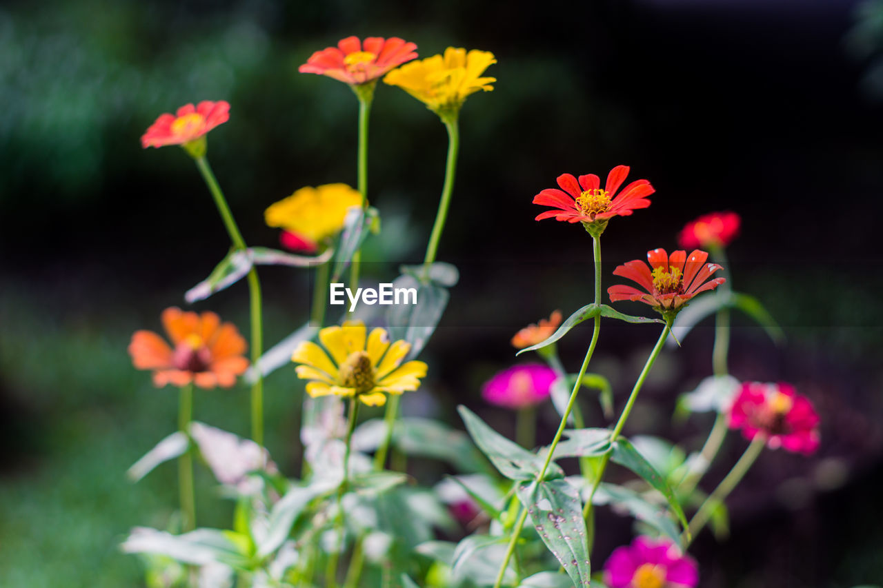 flowering plant, flower, plant, freshness, fragility, beauty in nature, growth, vulnerability, petal, flower head, inflorescence, close-up, selective focus, nature, no people, day, yellow, focus on foreground, outdoors, botany