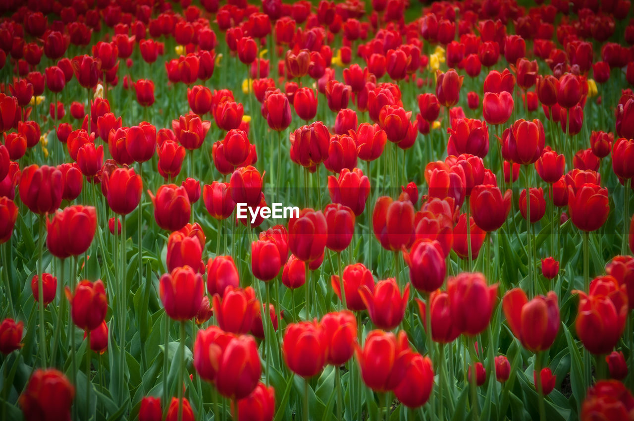 Red Tulips Blooming In Field