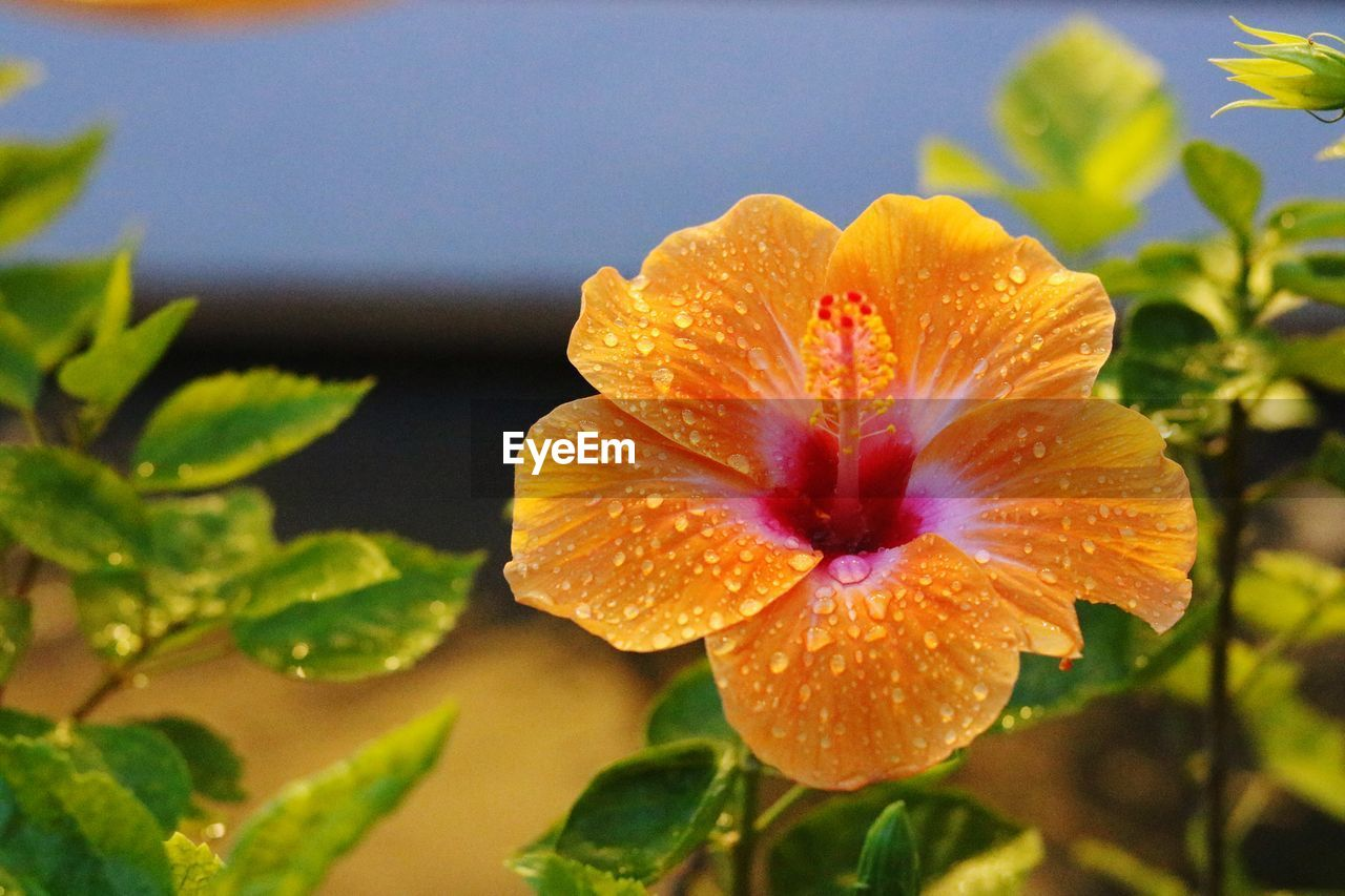 flower, flowering plant, plant, petal, vulnerability, freshness, fragility, beauty in nature, inflorescence, close-up, flower head, growth, nature, leaf, plant part, no people, water, orange color, day, outdoors, pollen