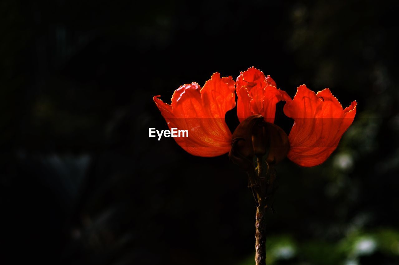 flower, flowering plant, vulnerability, beauty in nature, fragility, plant, freshness, petal, close-up, growth, focus on foreground, flower head, inflorescence, red, nature, plant stem, no people, outdoors, day, orange color, orange