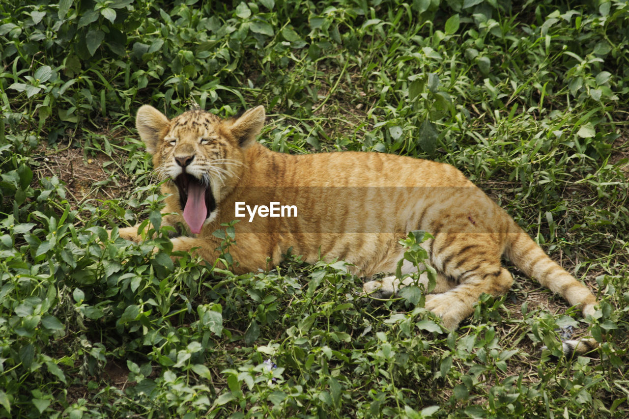 Liger Animal Themes Cub Day Domestic Cat Feline Full Length Grass Lion Tiger Lion Tiger Hybrid Mammal Nature No People One Animal Outdoors Plant