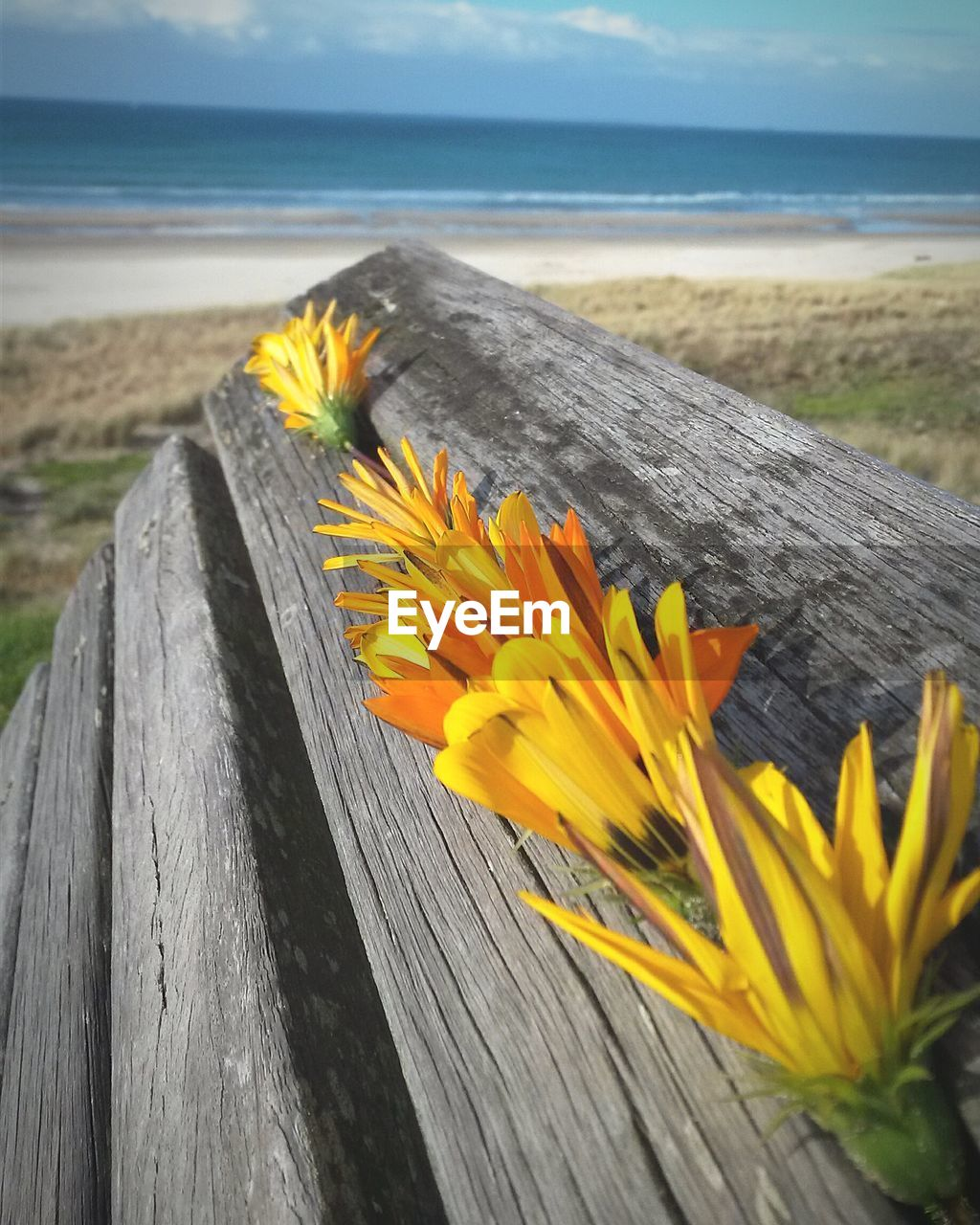 flower, yellow, nature, beauty in nature, wood - material, water, sea, outdoors, no people, day, tranquility, horizon over water, beach, fragility, scenics, close-up, freshness, sky, flower head