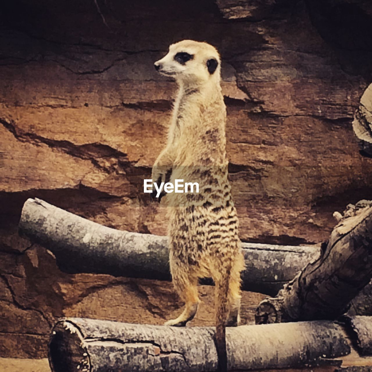 animal themes, one animal, animals in the wild, animal wildlife, meerkat, day, no people, standing, mammal, outdoors, nature, close-up, bird
