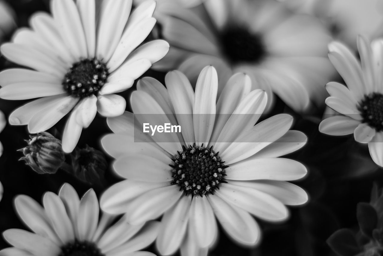 flower, flowering plant, petal, flower head, vulnerability, fragility, inflorescence, plant, freshness, growth, beauty in nature, close-up, pollen, osteospermum, nature, no people, day, focus on foreground, white color, high angle view, gazania