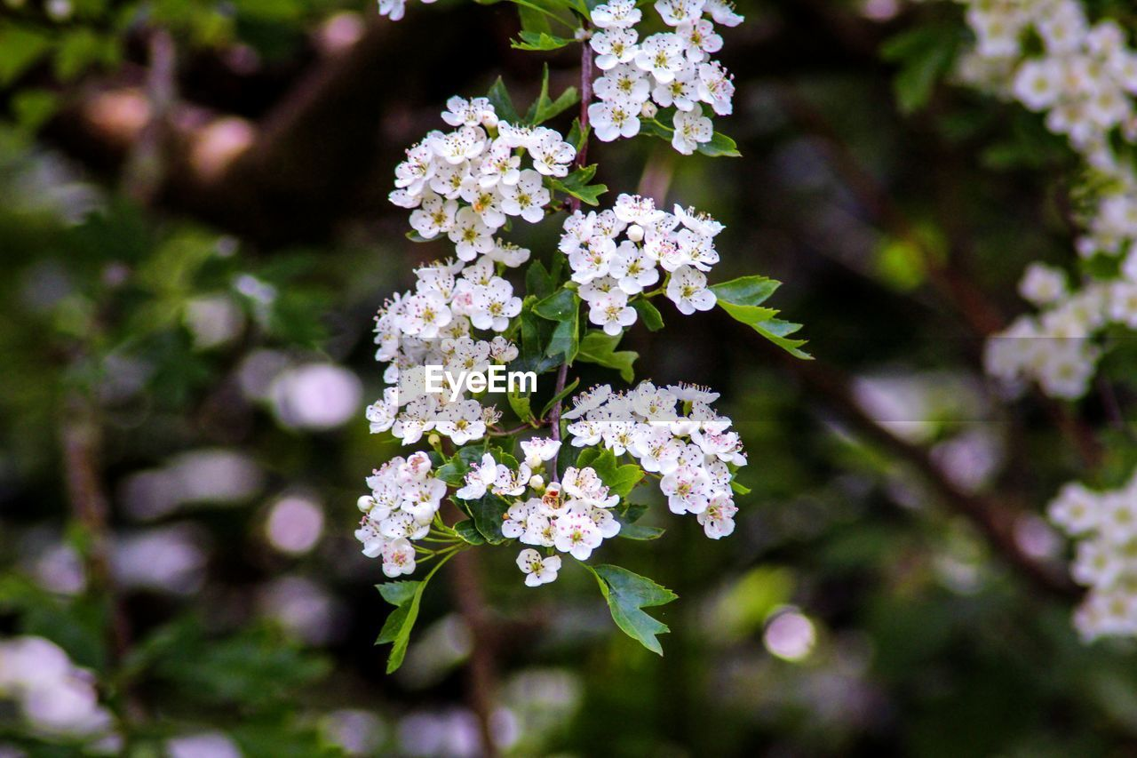 flower, flowering plant, fragility, growth, vulnerability, plant, freshness, beauty in nature, close-up, day, nature, no people, focus on foreground, selective focus, white color, outdoors, petal, botany, inflorescence, flower head, bunch of flowers, lilac