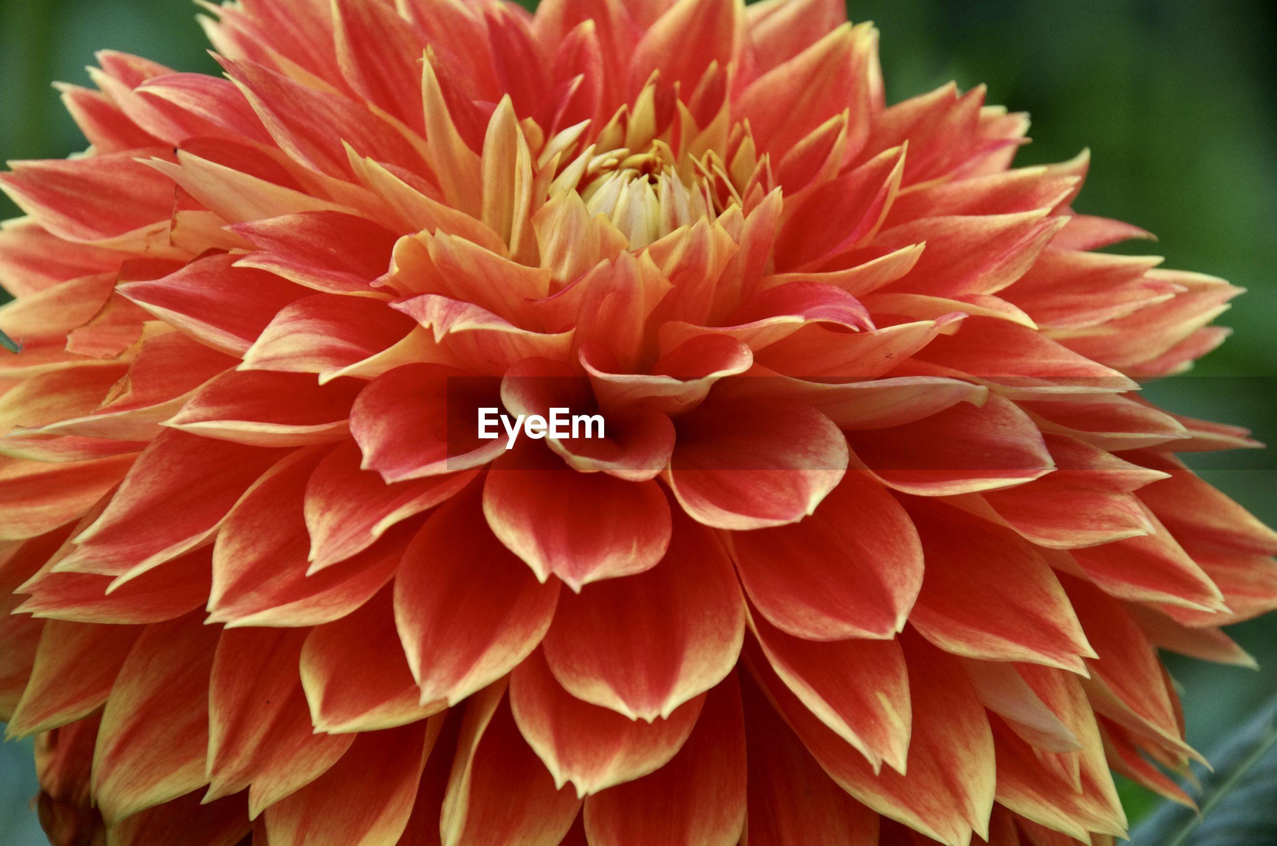 Close-up of red dahlia