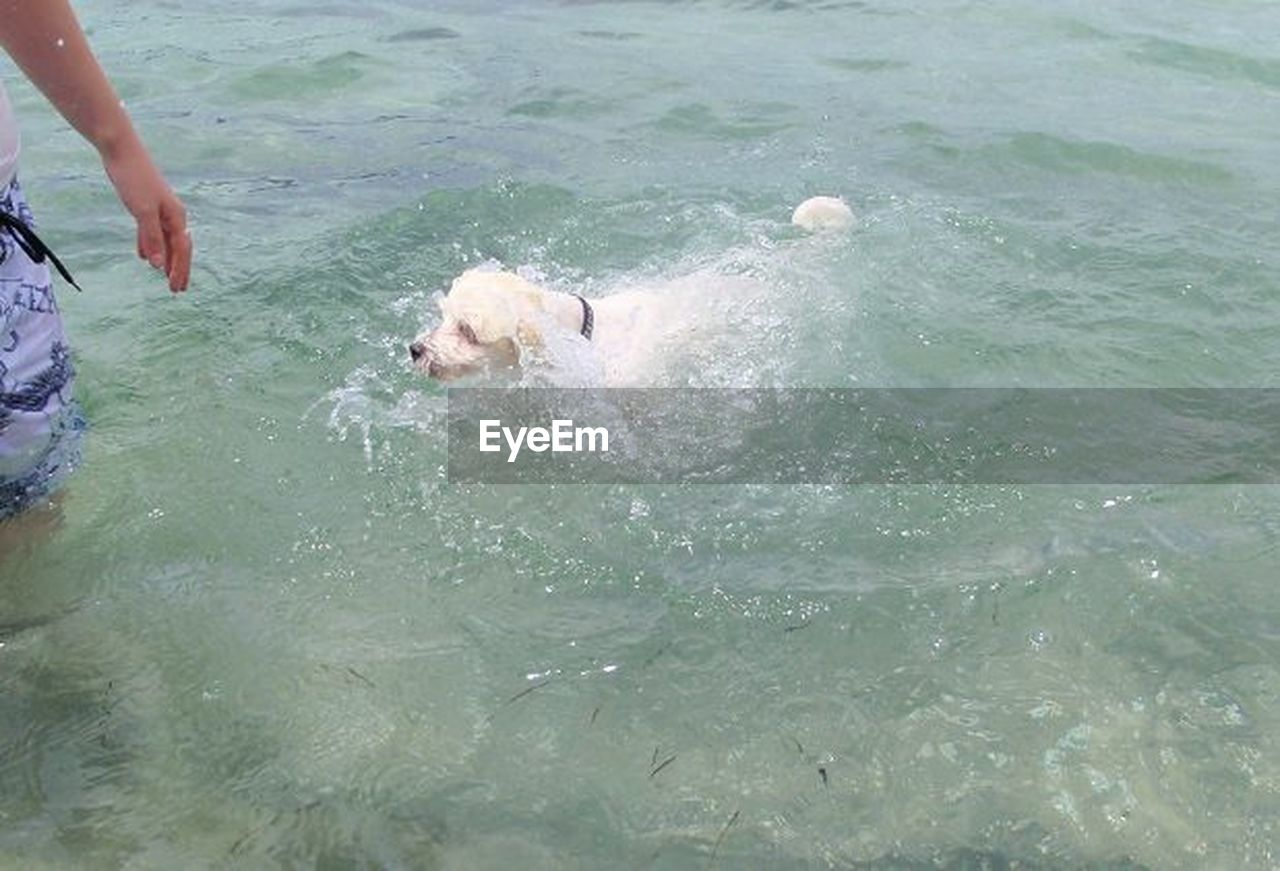 dog, pets, domestic animals, animal themes, mammal, water, waterfront, real people, one person, day, playing, outdoors, swimming, weimaraner, nature, human hand, people