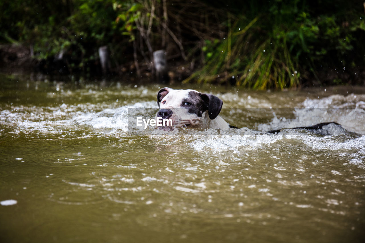 canine, dog, one animal, mammal, animal themes, animal, pets, domestic, domestic animals, water, vertebrate, day, waterfront, motion, nature, running, no people, wet, selective focus, outdoors, animal head