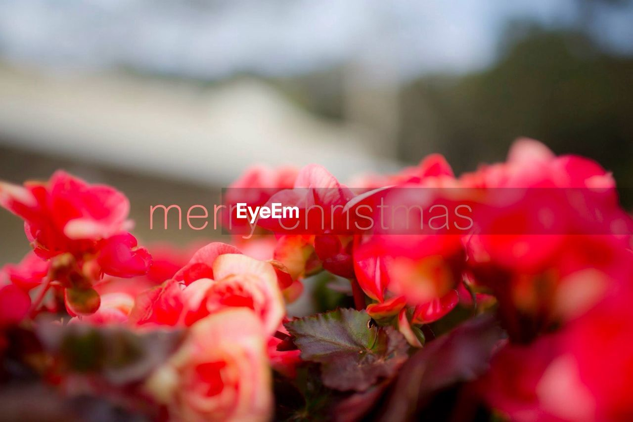 flower, red, nature, growth, petal, beauty in nature, no people, plant, outdoors, fragility, close-up, blooming, day, freshness, flower head