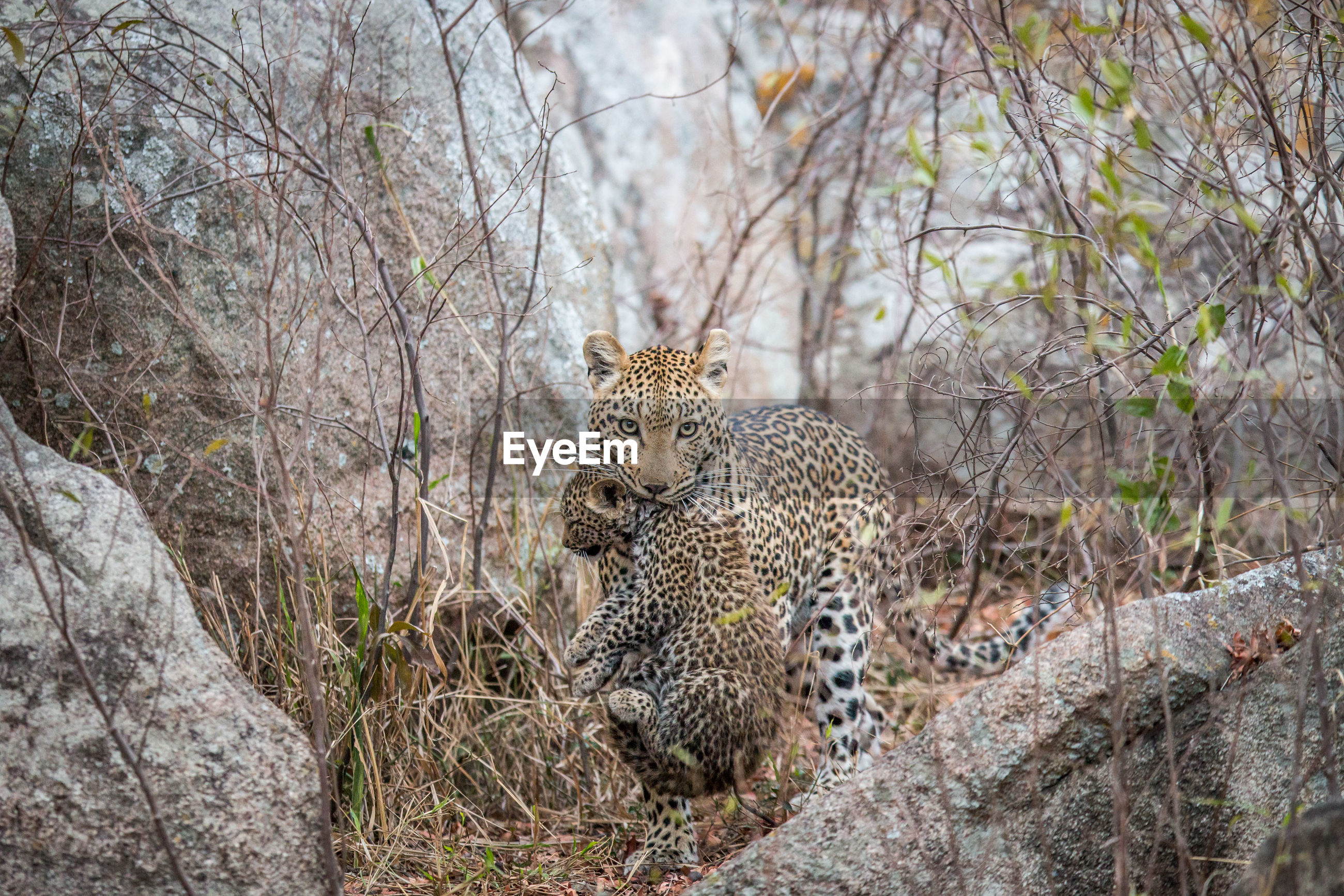 Leopard carrying cub in forest