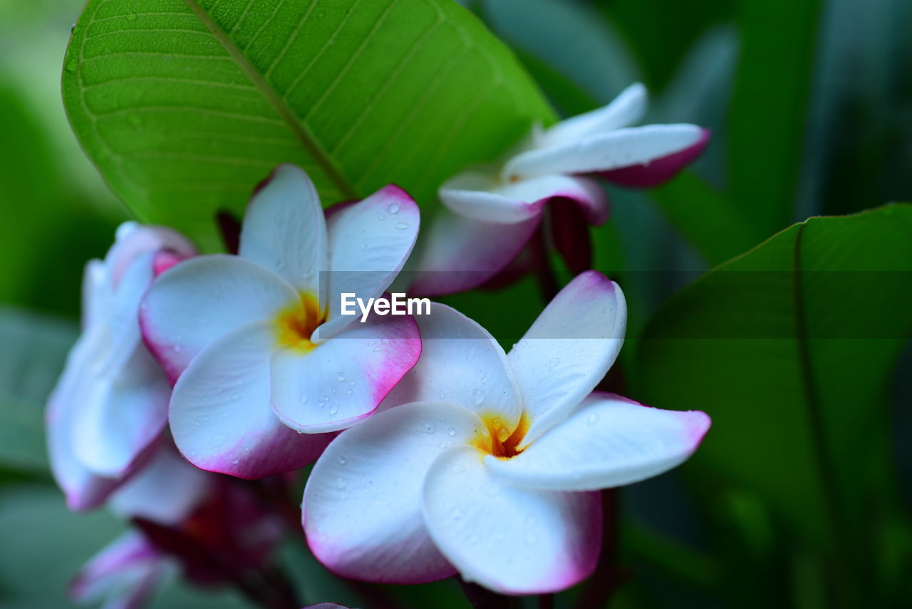 flowering plant, plant, flower, petal, beauty in nature, vulnerability, flower head, freshness, fragility, growth, inflorescence, close-up, leaf, plant part, nature, no people, focus on foreground, day, pink color, purple