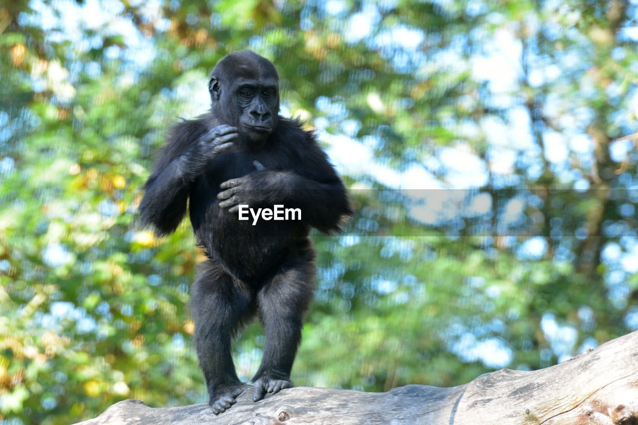 Chimpanzee standing on branch