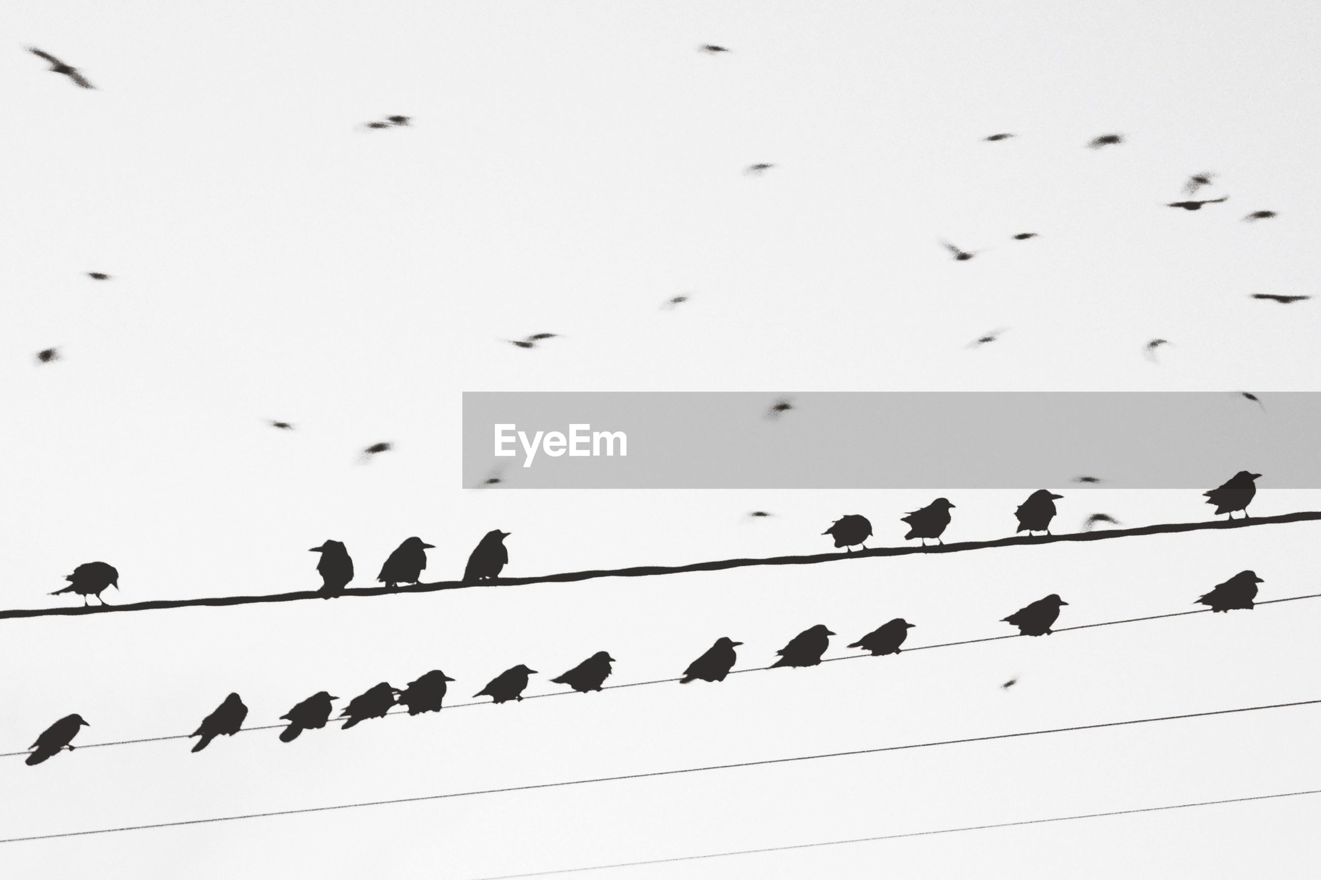 Row of birds on electric wire against clear sky