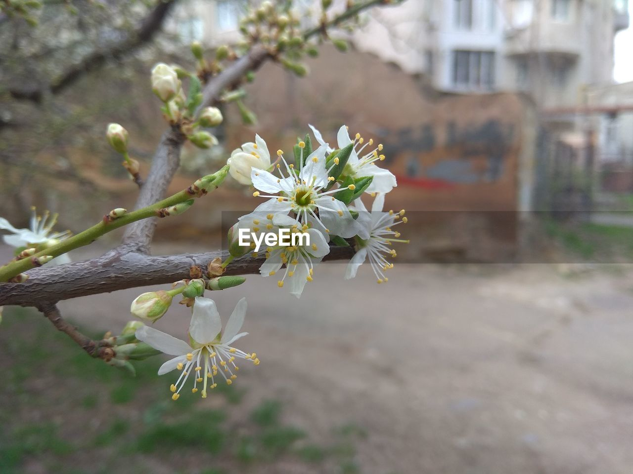 flowering plant, plant, flower, freshness, fragility, growth, vulnerability, beauty in nature, nature, focus on foreground, close-up, day, tree, blossom, petal, white color, no people, inflorescence, outdoors, flower head, springtime, pollen, cherry blossom, spring
