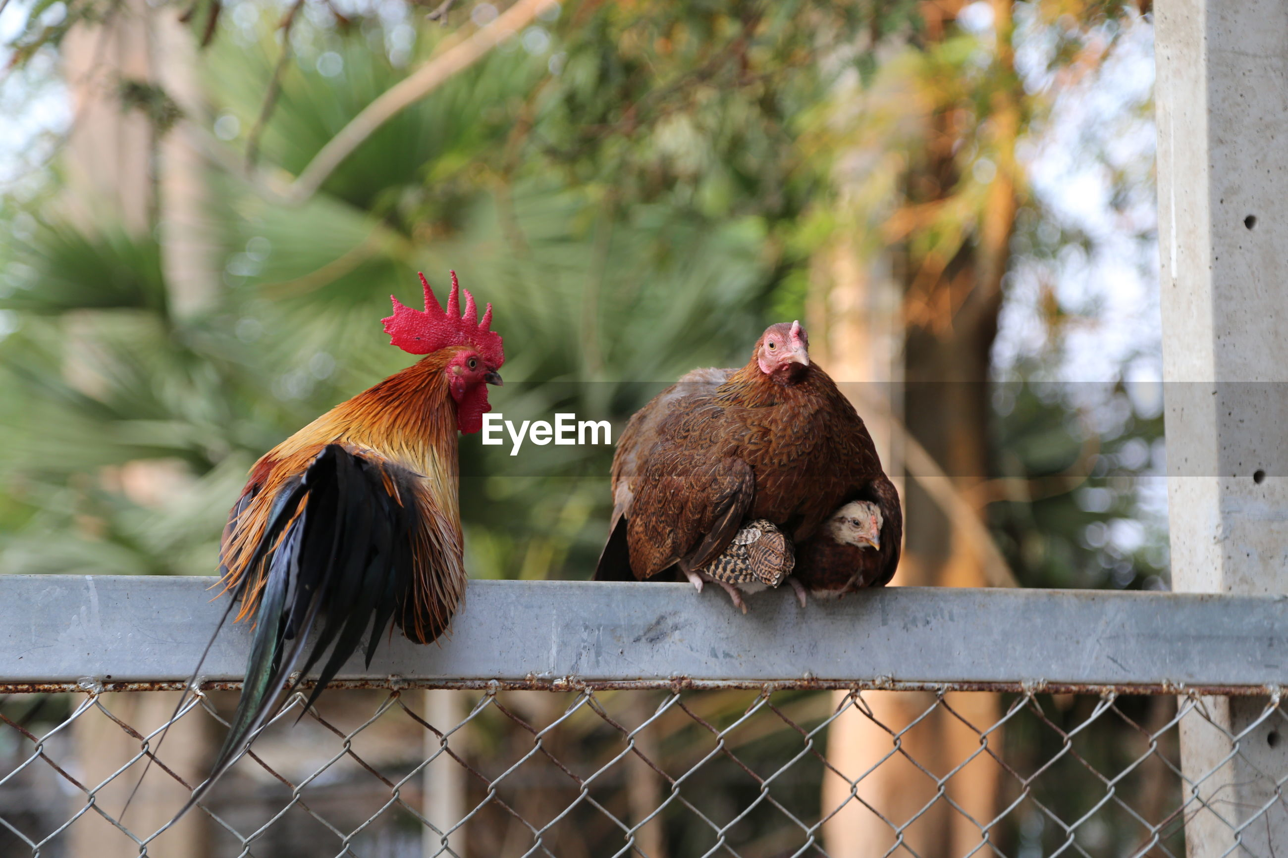 Hens perching on fence
