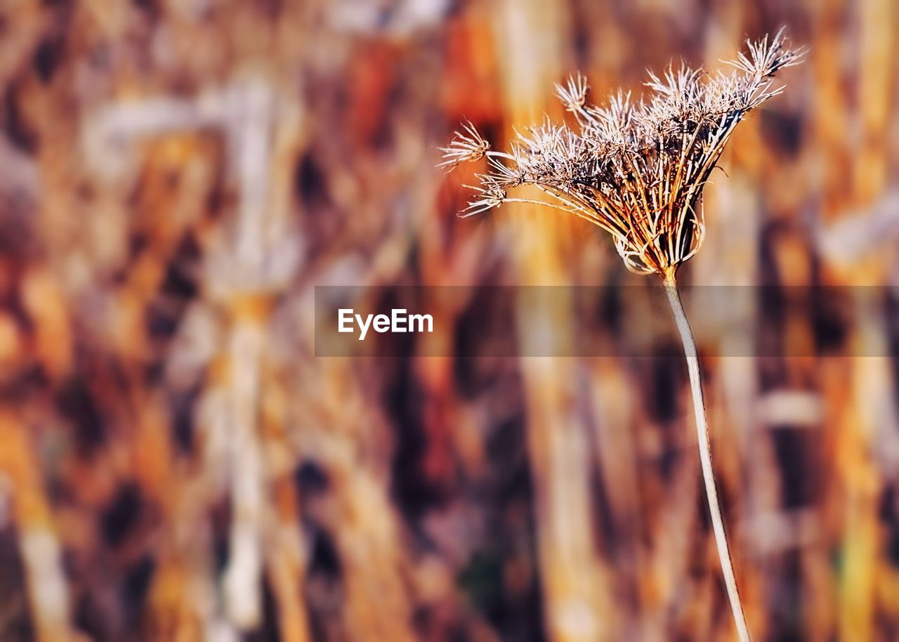 plant, close-up, nature, selective focus, beauty in nature, no people, growth, day, focus on foreground, orange color, fragility, outdoors, tranquility, dry, vulnerability, field, land, brown, flower, dried plant, dead plant, wilted plant