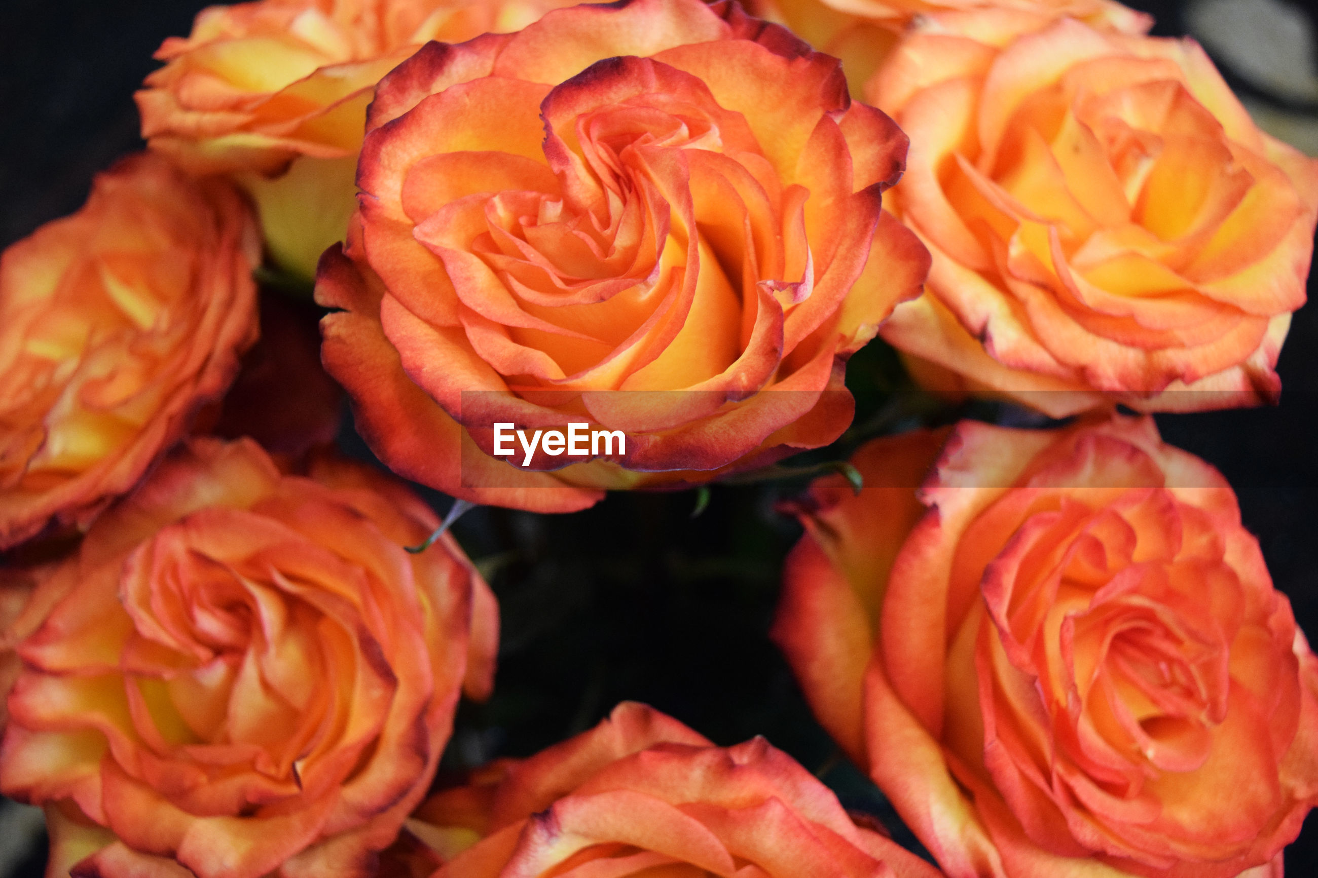 Close-up of orange roses blooming outdoors