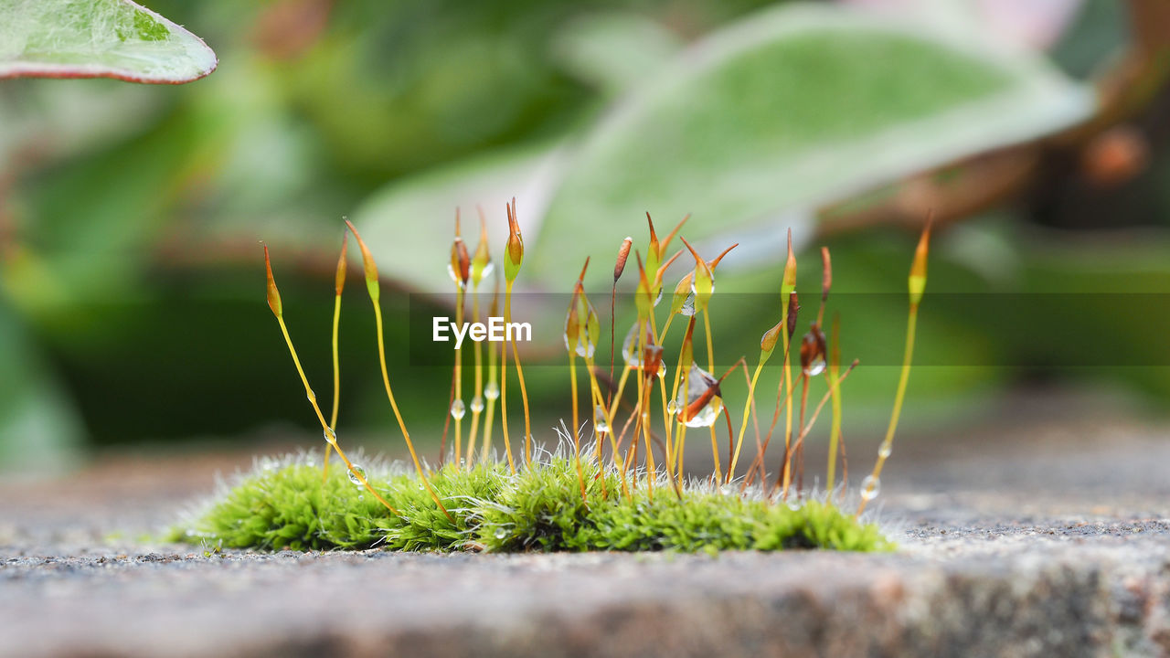 Closeup of moss flowers with selective focusing. ecology, preserve the earth and background concepts