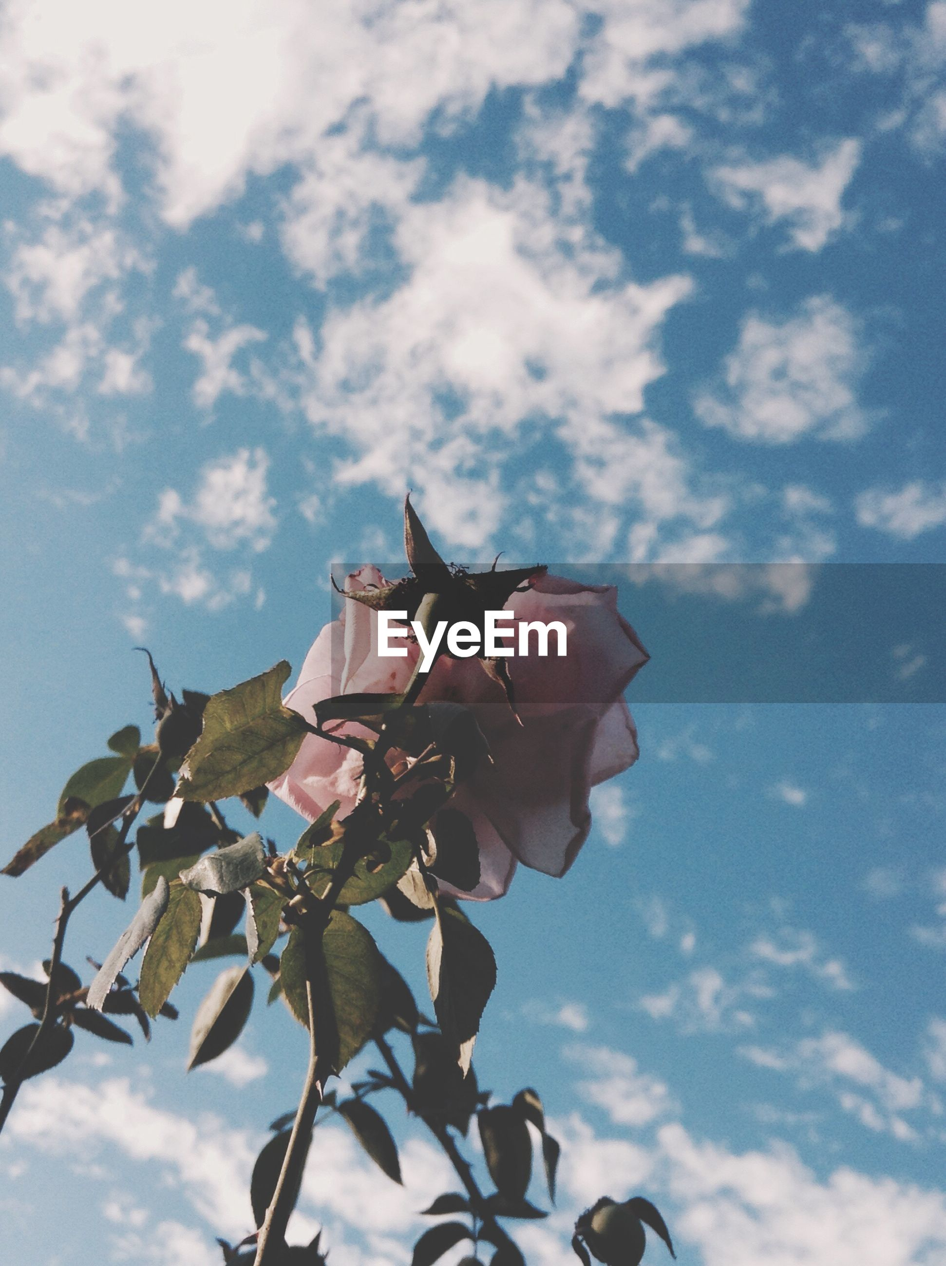 cloud - sky, flower, sky, nature, low angle view, day, petal, growth, outdoors, beauty in nature, no people, leaf, pink color, fragility, plant, flower head, freshness, blooming, close-up, tree
