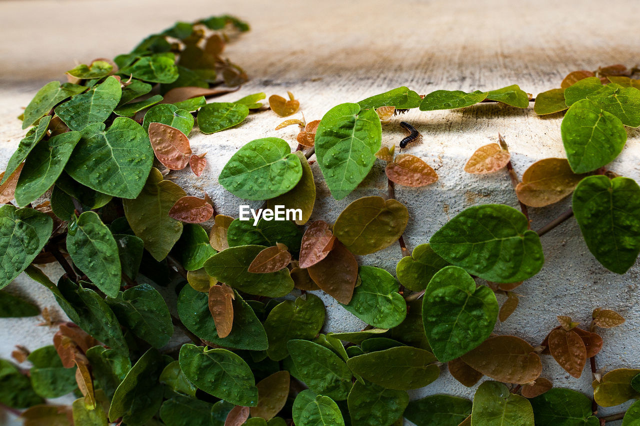 Close-up of ivy growing on retaining wall